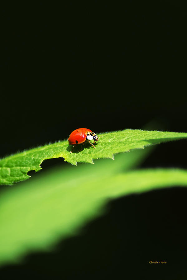 Ladybug Photograph - Little Red Ladybug On Green Leaf by Christina Rollo