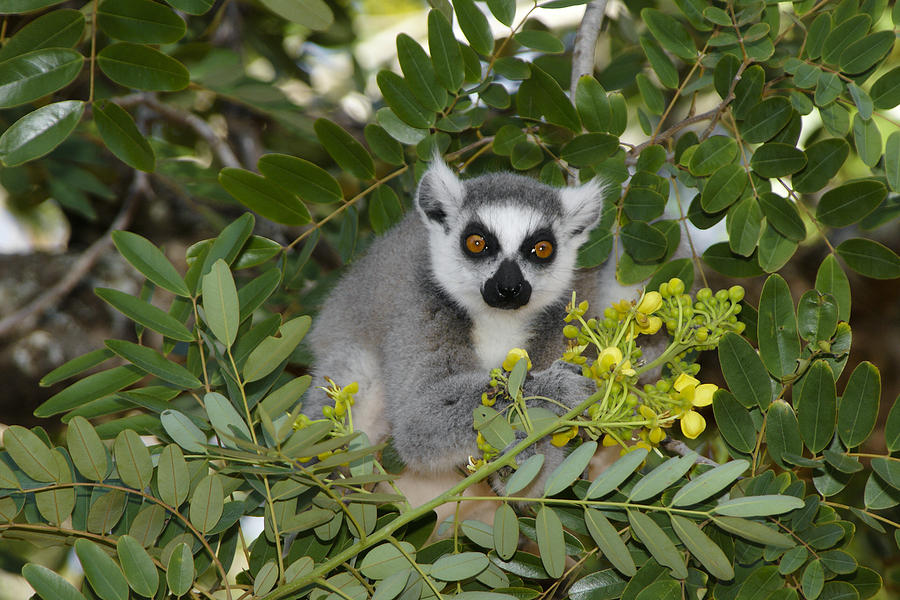 Madagascar Photograph - Little Ring-tailed Lemur by Michele Burgess