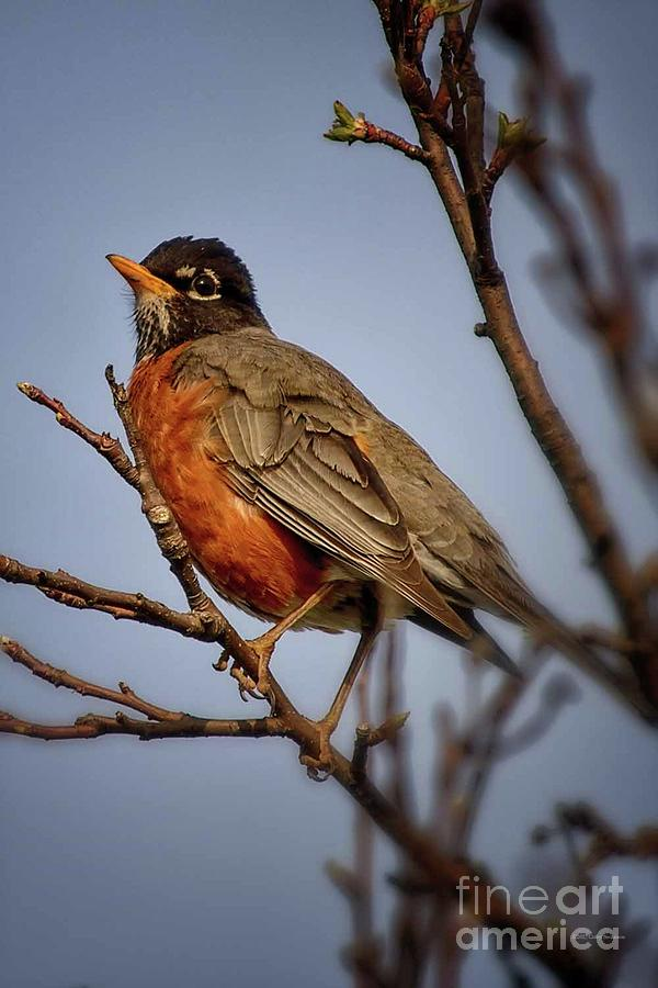 Robin Photograph - Little Robin by Gaby Swanson