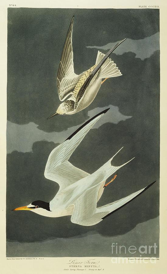 Tern Drawing - Little Tern by John James Audubon