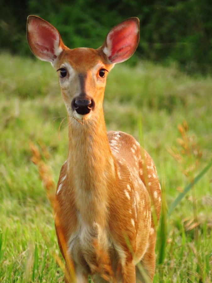 Deer Photograph - Little Warrior by Lori Frisch