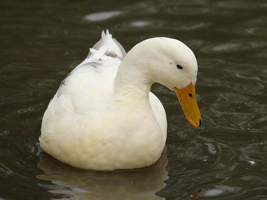 Little White Duck by Adrian Wale