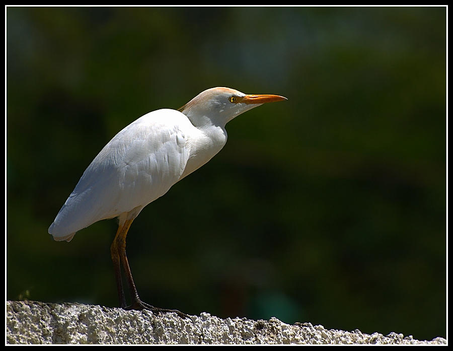 Little Photograph - Little White Heron by Galeria Trompiz