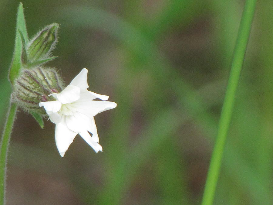 Nature Photograph - Little White Star by Sylvia Wanty