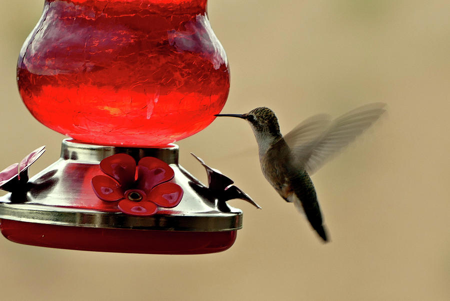 Humming Bird Photograph - Little Winged Wonder by Frederick Redelius