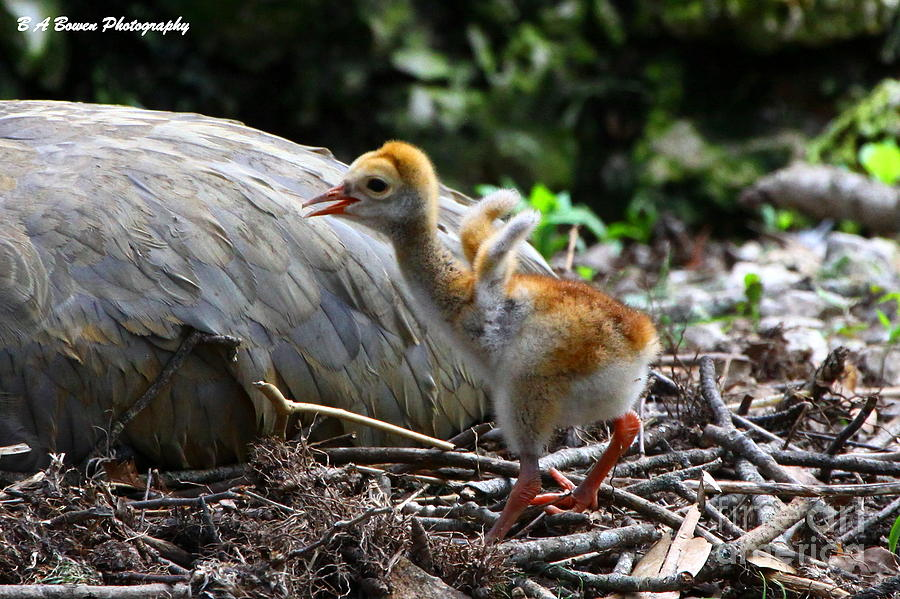 Sandhill Crane Photograph - Little Wings by Barbara Bowen