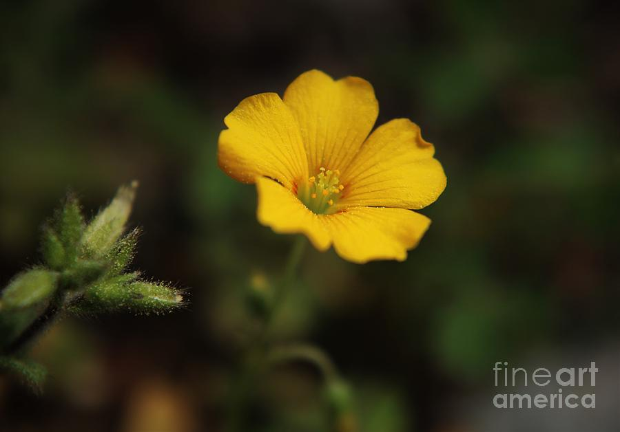 Little Yellow Beauty Photograph