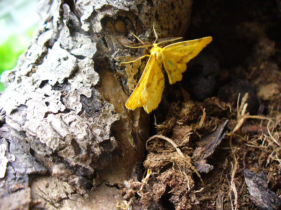 Insect Photograph - Little Yellow Moth by Peggy King