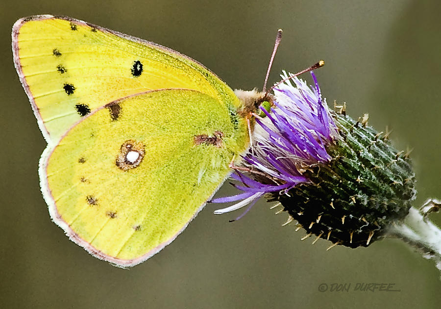 Butterfly Photograph - Little Yellow On Bullthistle by Don Durfee