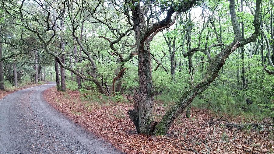 Back Photograph - Live Oak Forest by Liza Eckardt