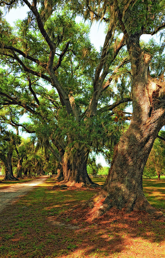 Evergreen Plantation Photograph - Live Oak Lane by Steve Harrington