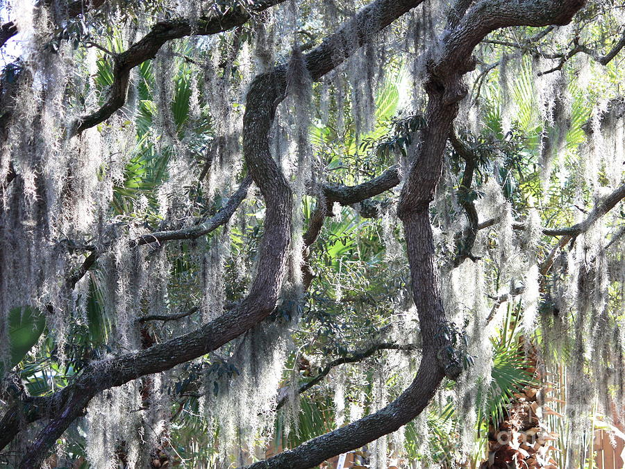 Spanish Moss Photograph - Live Oak With Spanish Moss And Palms by Carol Groenen