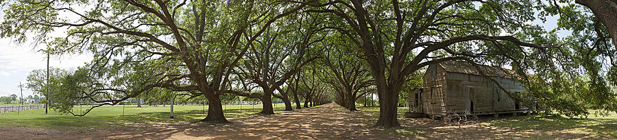 Live Oaks Panorama by Robert Harshman