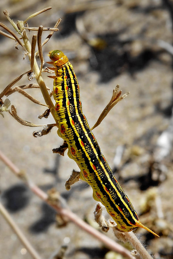 Caterpillar Photograph - Living Desert by Christine Till