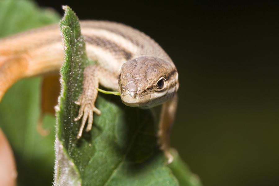 Lizard Photograph - Lizard by Andre Goncalves