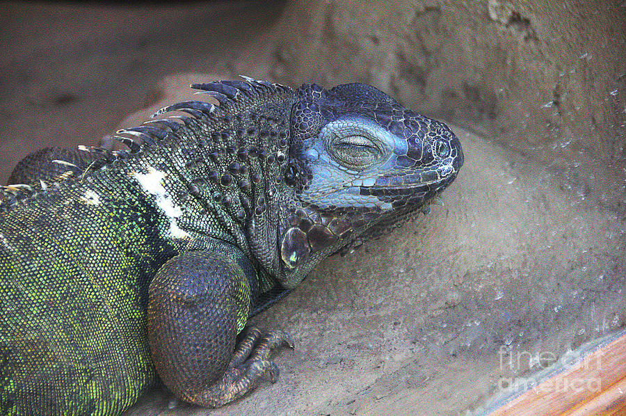 Lizard Blue and Green Photograph by David Frederick