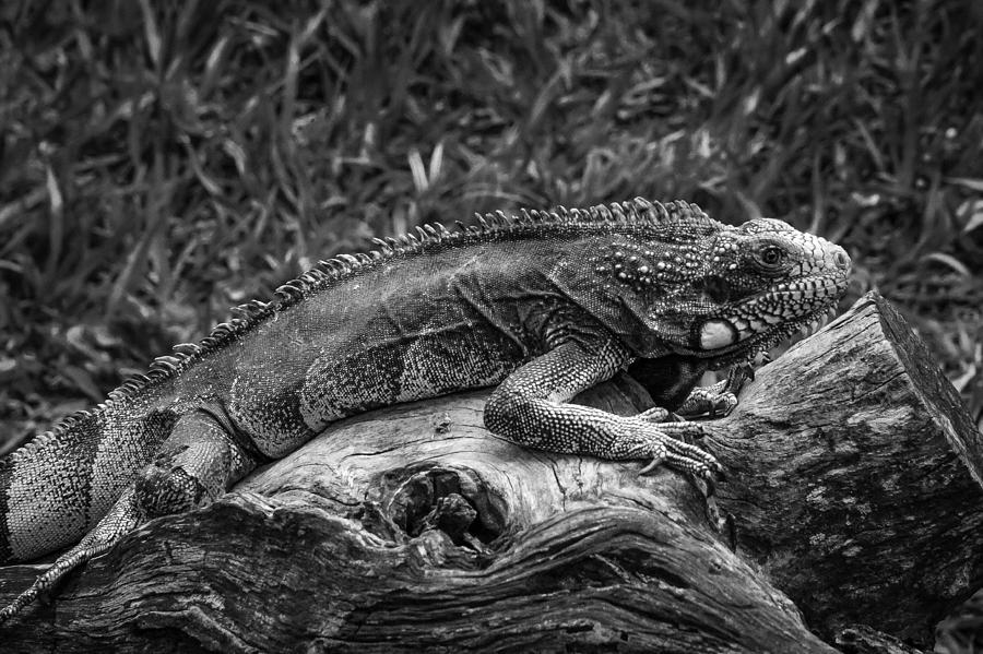Lizard Photograph - Lizard-bw by Fabio Giannini