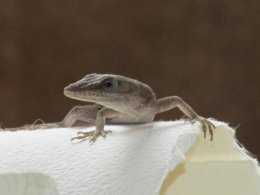 Lizard Photograph - Lizard by Michele Caporaso