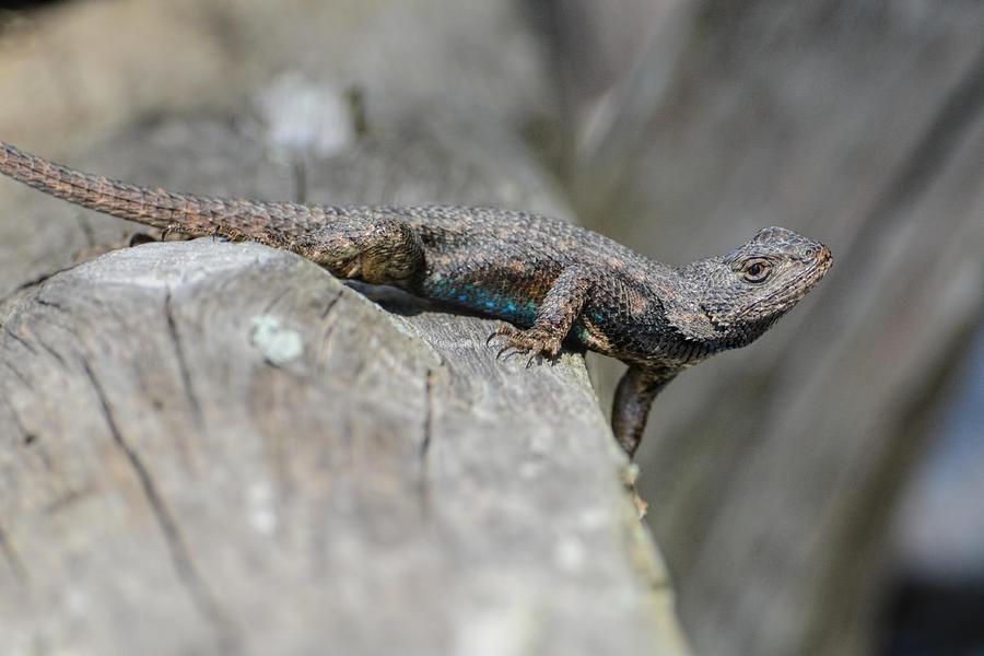 Jai Johnson Photograph - Lizard On Wood Fence Shiloh Tennessee 031620161698 by WildBird Photographs