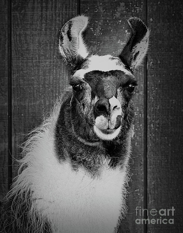 Llama Face In Black And White by Smilin Eyes  Treasures