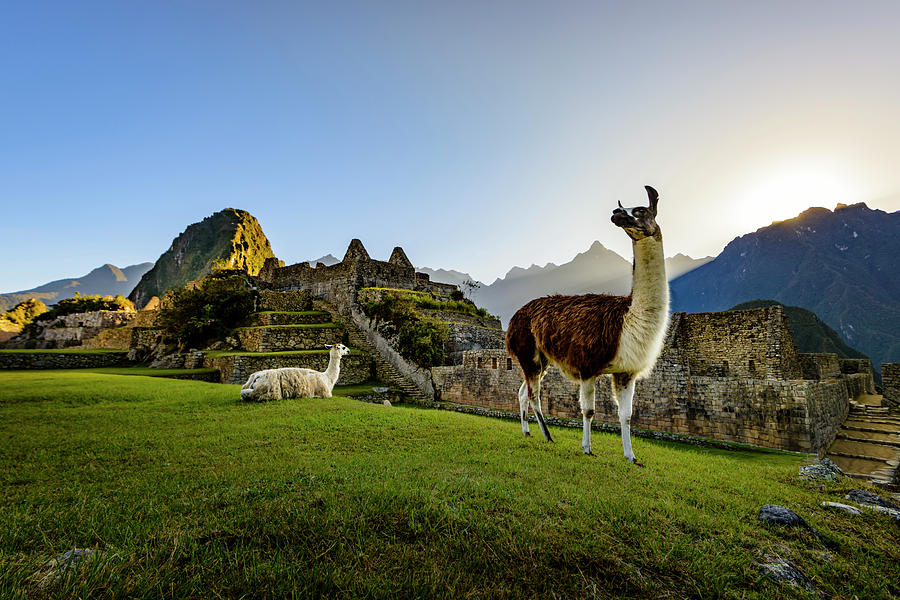 Llamas at the Ruins by Oscar Gutierrez