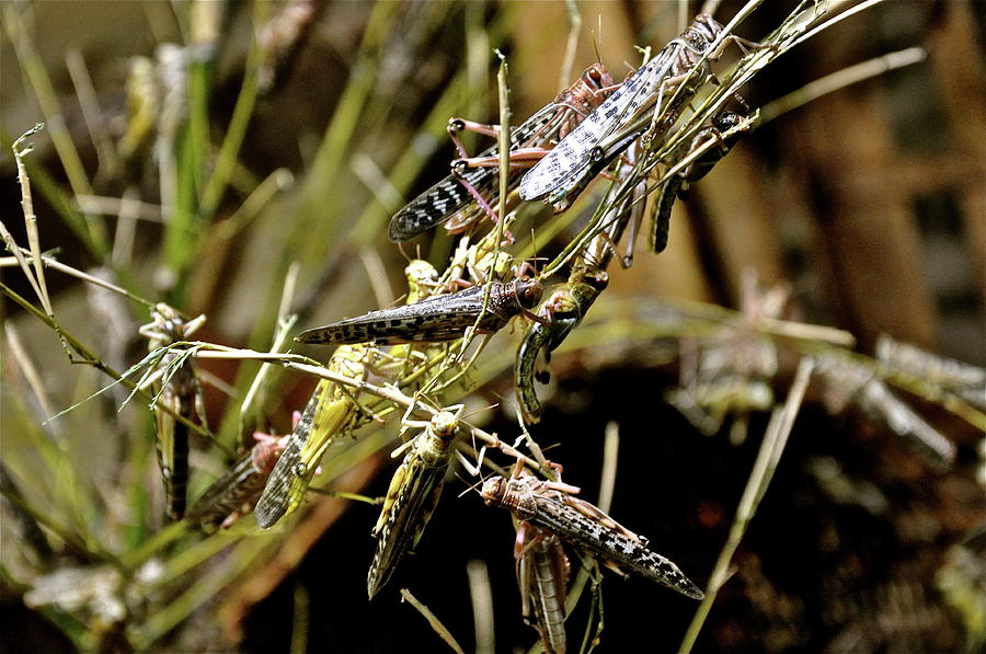 Locusts Photograph