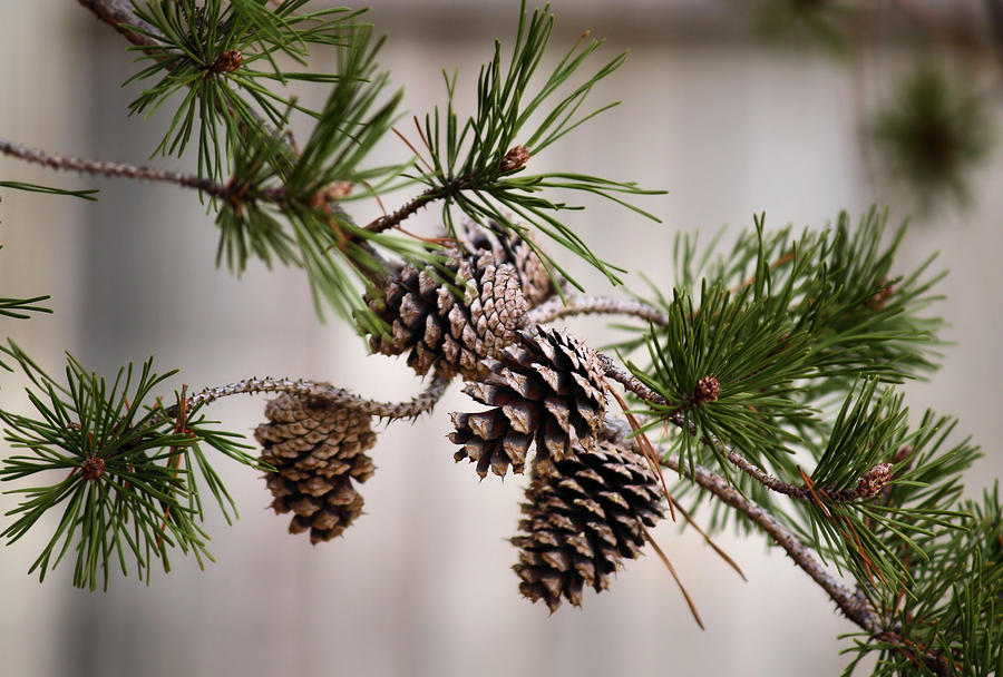 Pine Photograph - Lodgepole Pine Cones by Karen Scovill