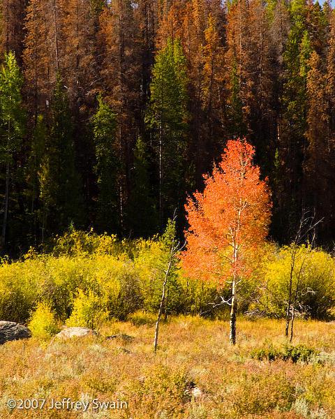 Landscape Photograph - Lone Aspen by Jeffrey Swain