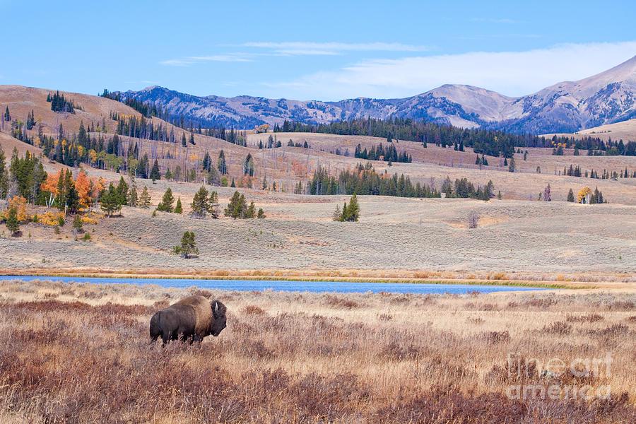 Buffalo Digital Art - Lone Bull Buffalo by Cindy Singleton