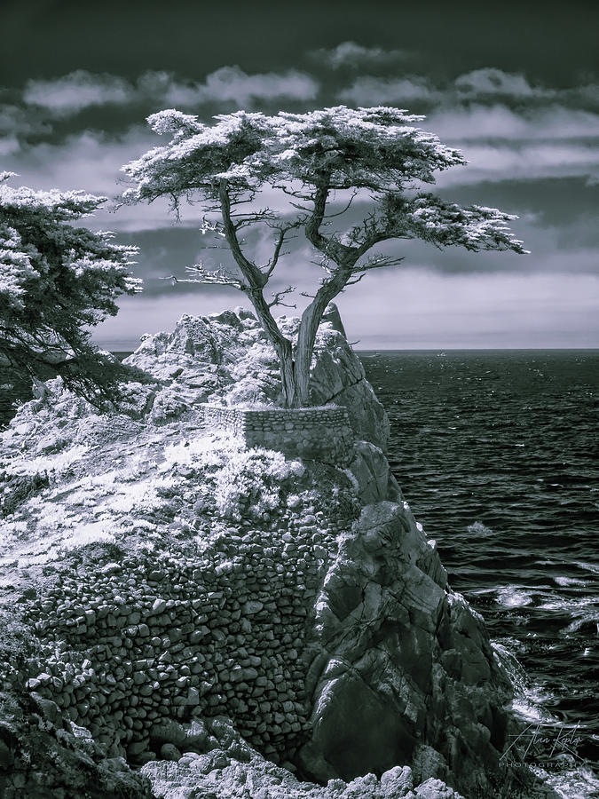 Lone Cypress Photograph