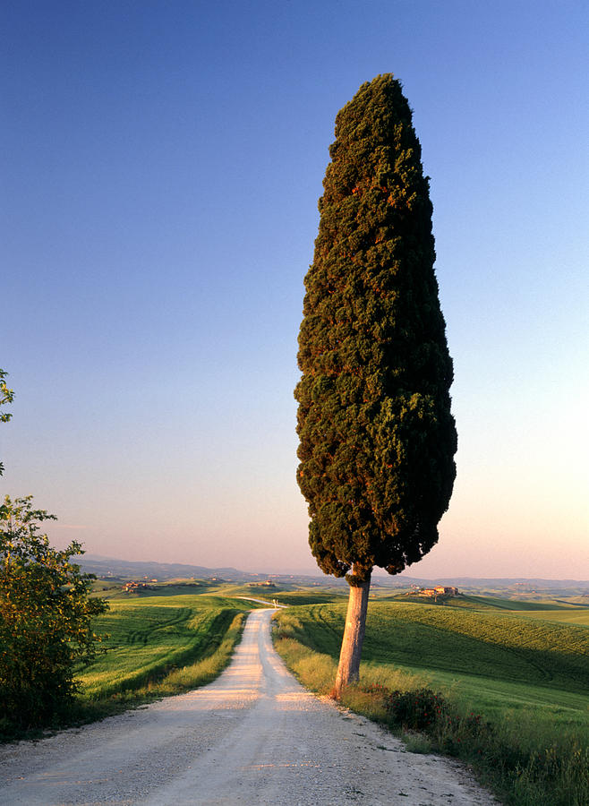 Italy Photograph - Lone Cypress by Michael Hudson