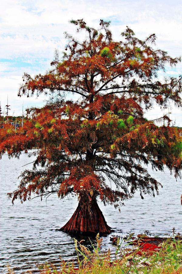 Lone Cypress Tree Photograph