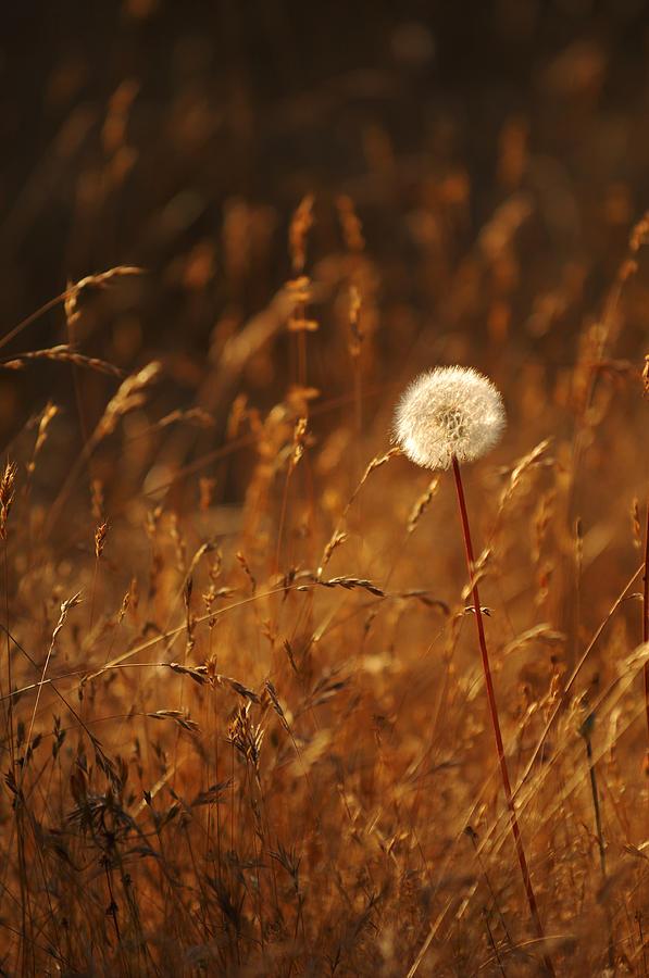 Lone Dandelion Photograph by Jill Reger