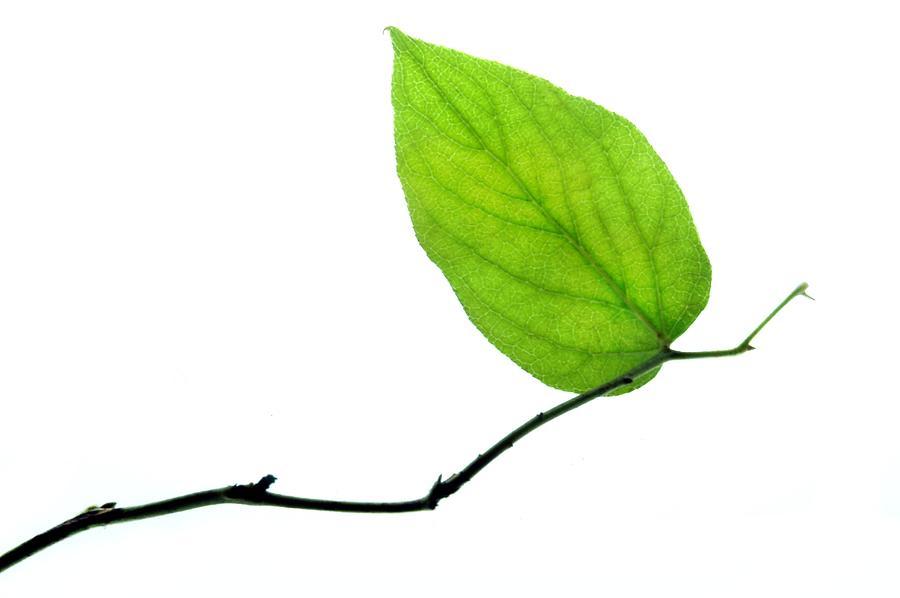 Leaf Photograph - Lone Leaf by Dan Holm