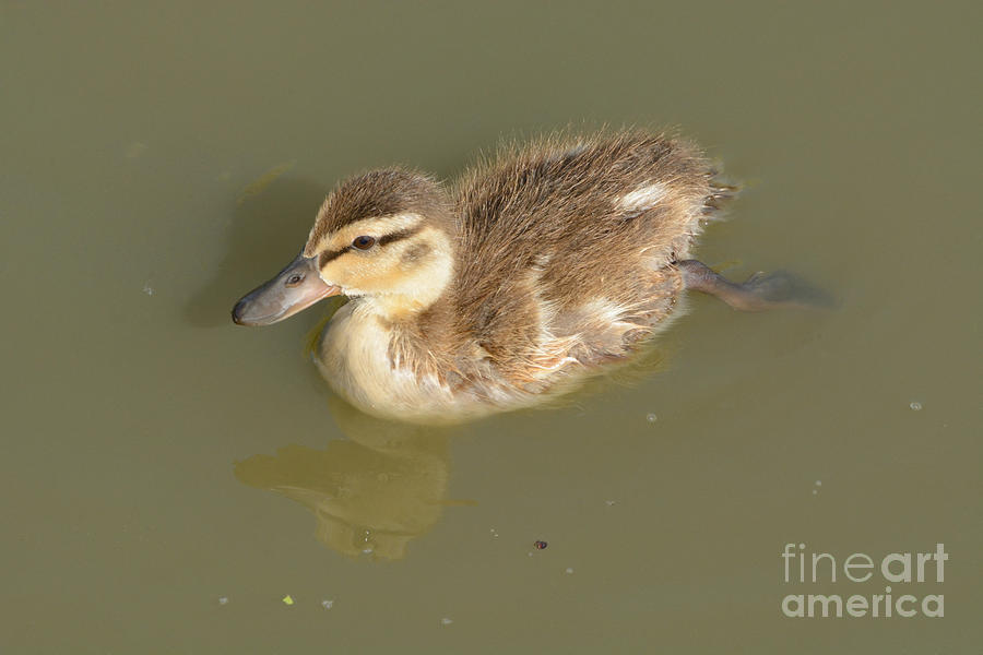 Duckling Photograph - Lone Mallard Duck Duckling by Merrimon Crawford
