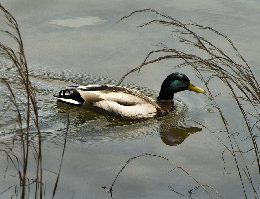 Lake Photograph - Lone Mallard by Norman Andrus