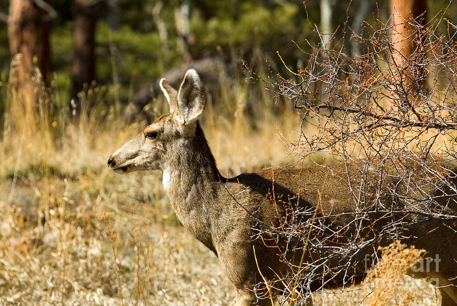 Lone Mule Deer Doe In The Pike National Forest Photograph