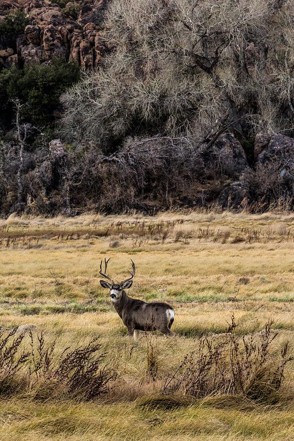 Lone Muledeer Buck 12-23-2015 Photograph