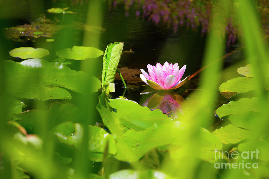Pink Water Lily Photograph - Lone Pink Water Lily by Sheila Smart Fine Art Photography
