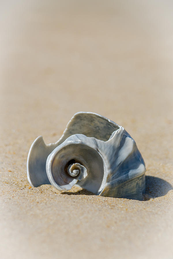 Lone Shell by Cyndi Goetcheus Sarfan