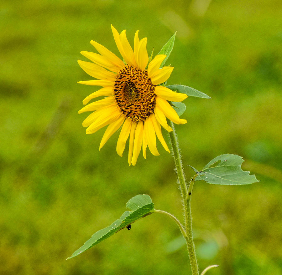 Flower Photograph - Lone Sunflower by Linda Brown