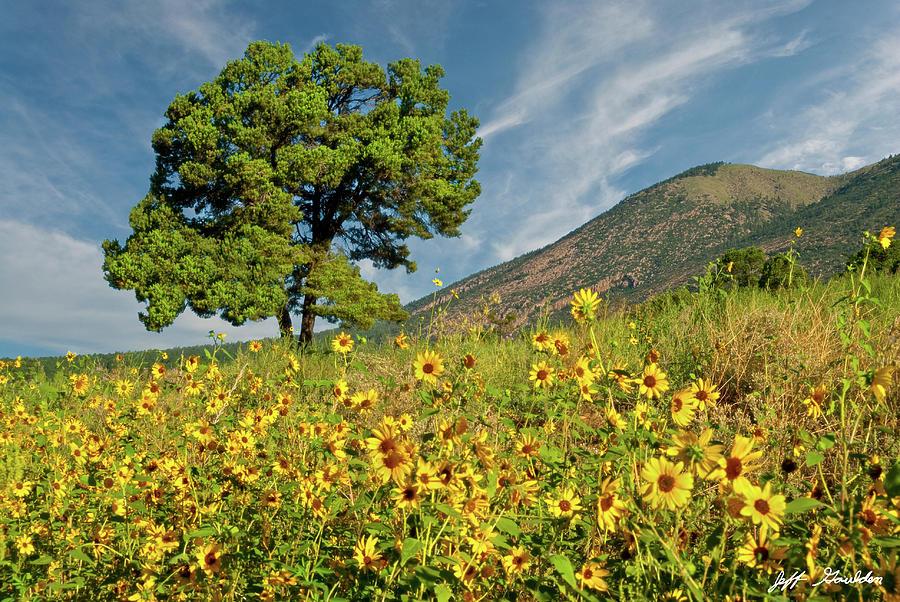 Lone Tree in a Sunflower Field by Jeff Goulden