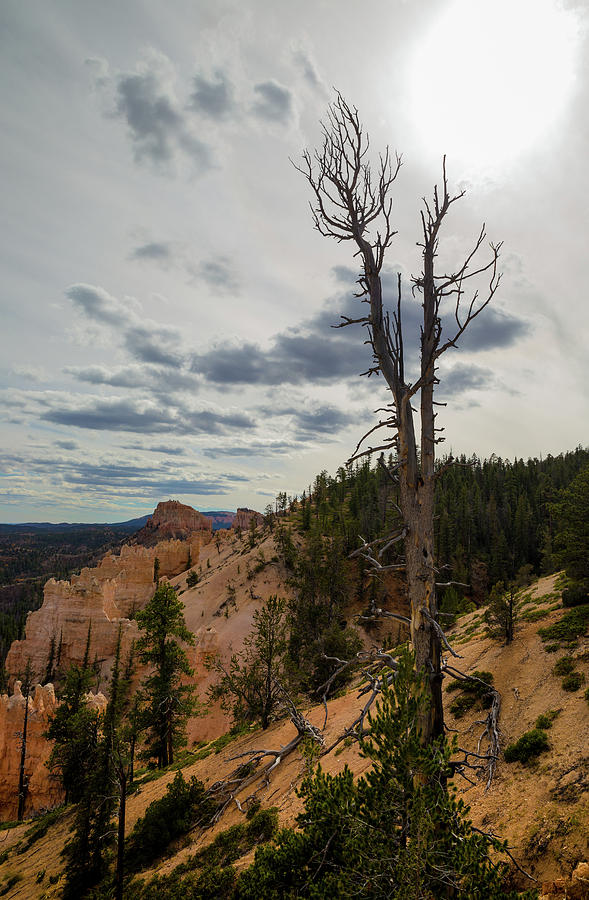 Lone Tree in Bryce Canyon by Kathleen Scanlan