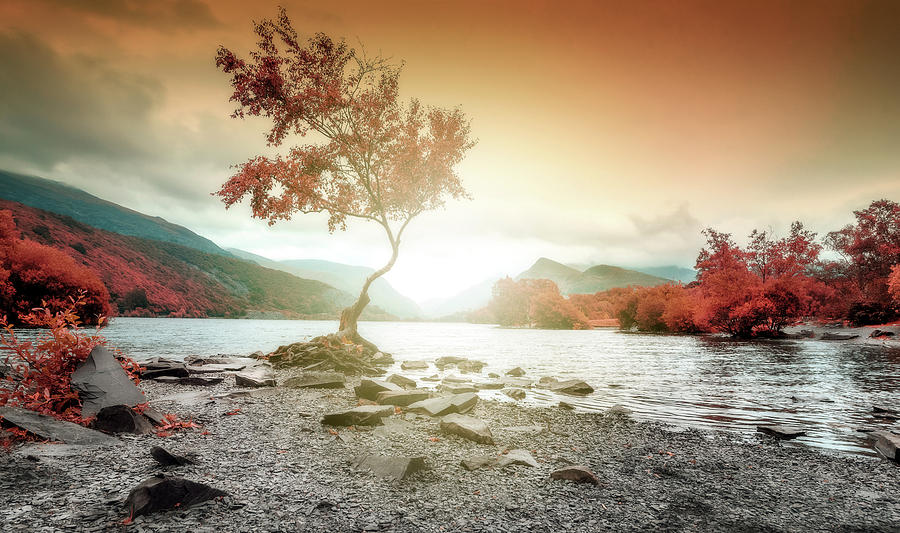 Lone Tree Wales Llyn Pardarn, Llanberis by John Williams