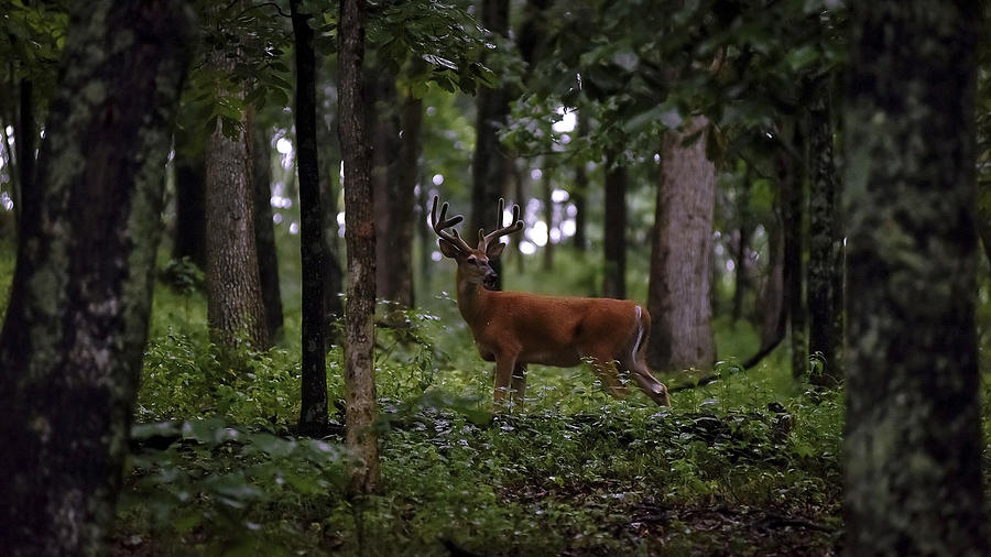 Deer Photograph - Lone Whitetail by Garett Gabriel