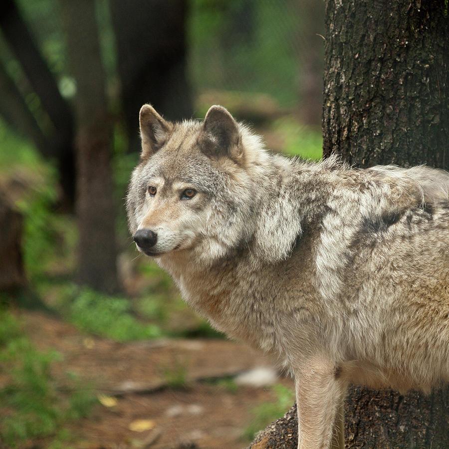 Lone Wolf by Stan Wojtaszek