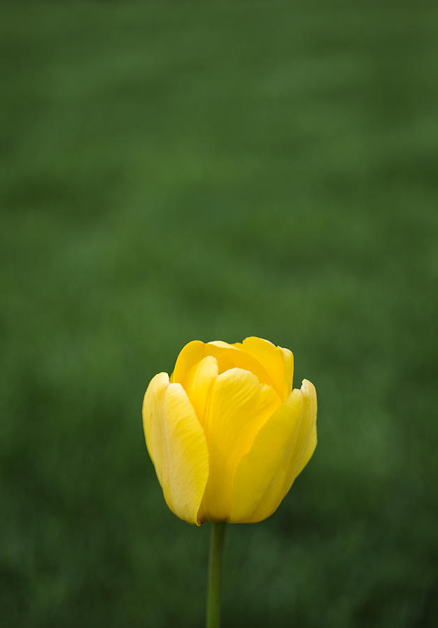 Tulip Photograph - Lone Yellow Tulip by Kurt Shaffer
