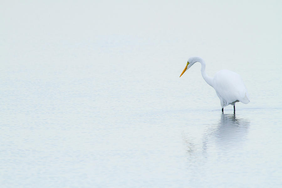 Animal Photograph - Lonely Egret by Karol Livote