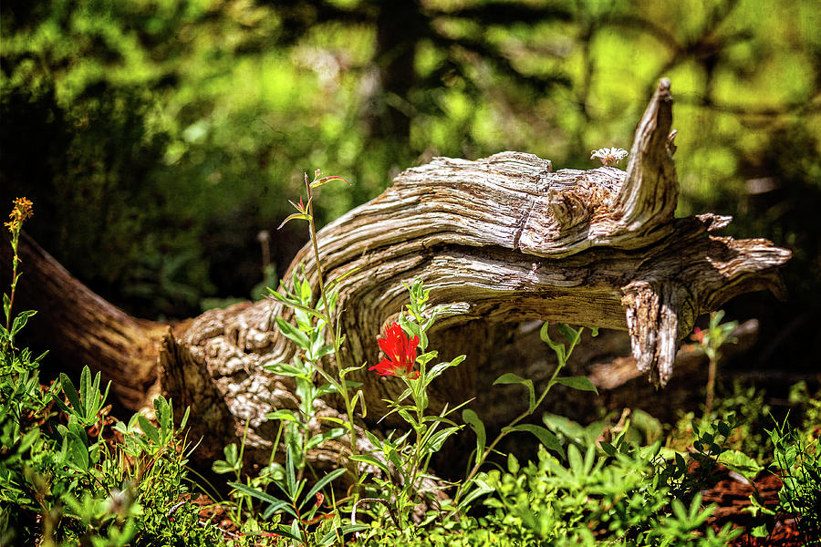 Lonely Indian Paintbrush by Franz Zarda