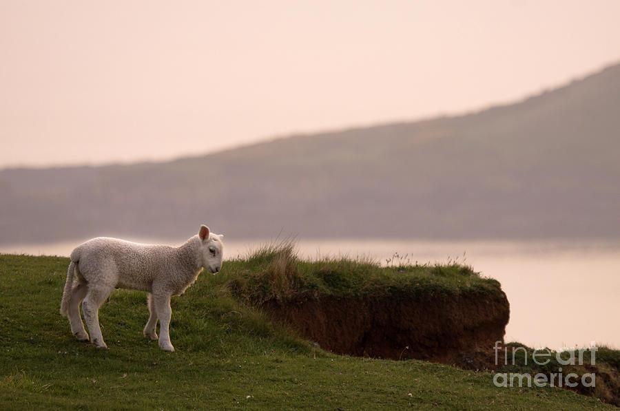 Lamb Photograph - Lonely Little Lamb by Angel Ciesniarska
